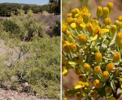 Barkleyanthus salicifolius