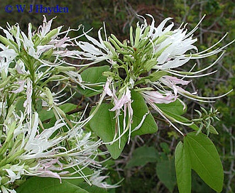 Bauhinia divaricata