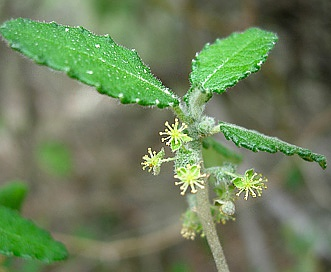 Bernardia myricifolia