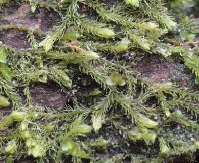 Blepharostoma trichophyllum