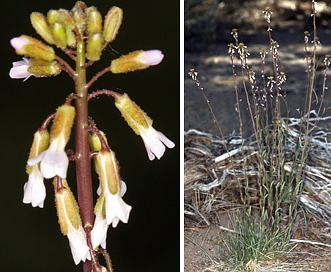 Boechera cobrensis