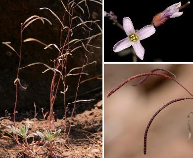 Boechera pallidifolia