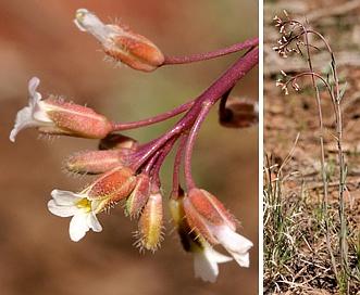 Boechera spatifolia