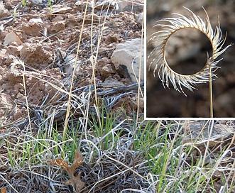 Bouteloua gracilis