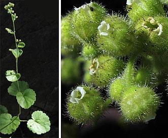 Boykinia rotundifolia