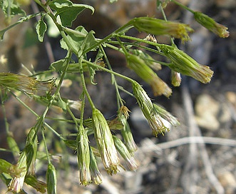 Brickellia coulteri