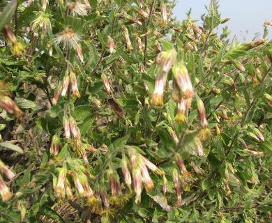 Brickellia secundiflora