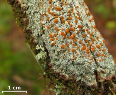 Brigantiaea leucoxantha