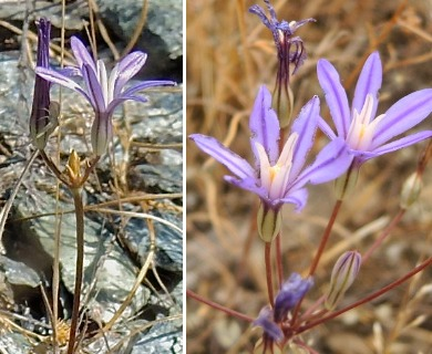 Brodiaea minor