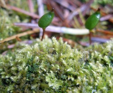 Buxbaumia viridis