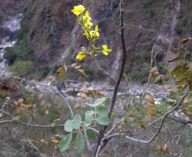 Caesalpinia platyloba