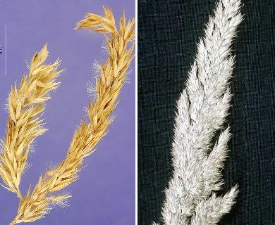 Calamagrostis coarctata