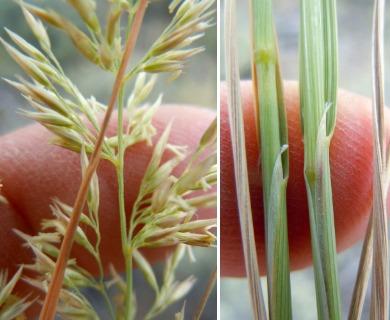 Calamagrostis montanensis