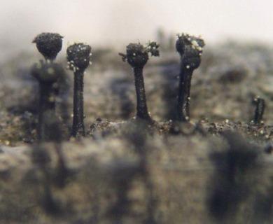 Calicium abietinum