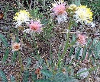 Calliandra humilis