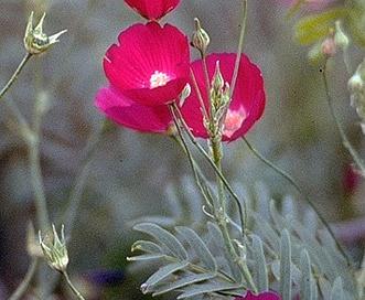 Callirhoe leiocarpa