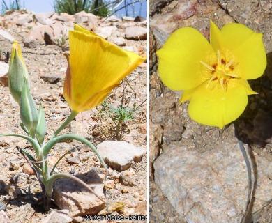 Calochortus concolor