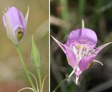 Calochortus nitidus