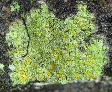 Caloplaca flavorubescens