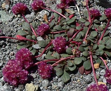 Calyptridium umbellatum