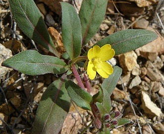 Camissoniopsis ignota