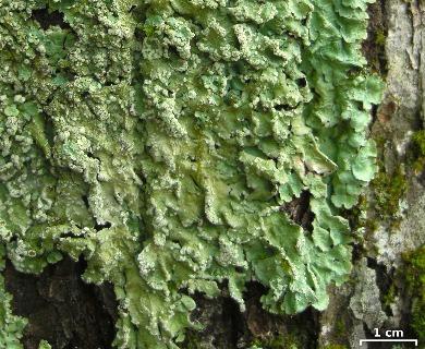 Canoparmelia crozalsiana