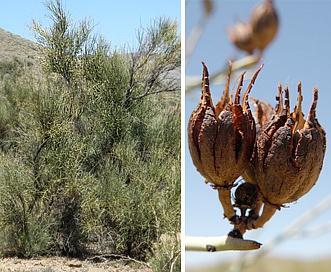 Canotia holacantha