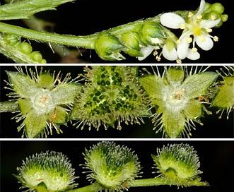 Caperonia palustris