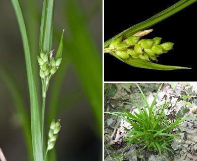 Carex abscondita