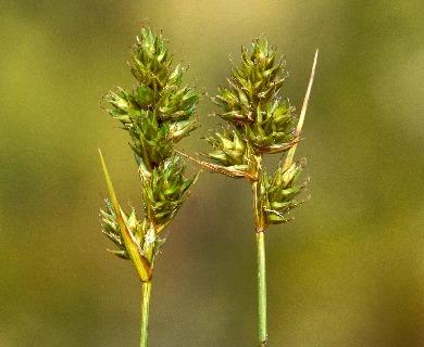 Carex adusta