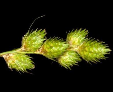 Carex alata
