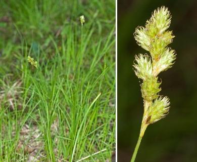 Carex argyrantha