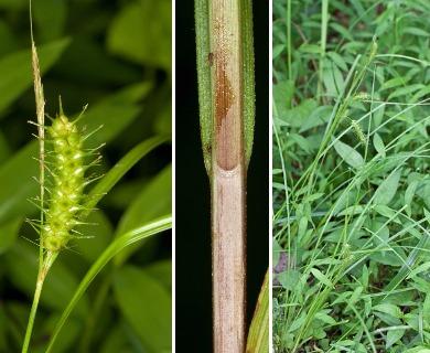 Carex baileyi
