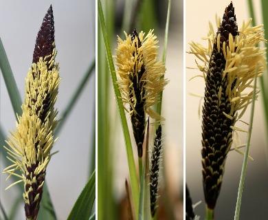 Carex barrattii