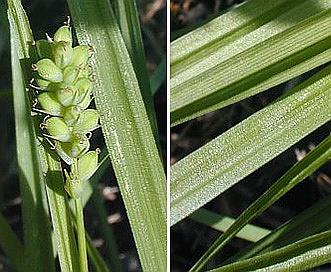 Carex blanda