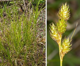 Carex brevior