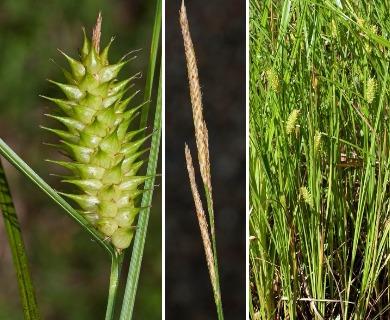 Carex bullata