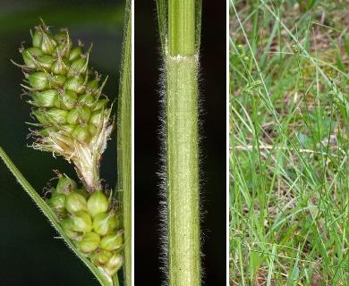 Carex bushii