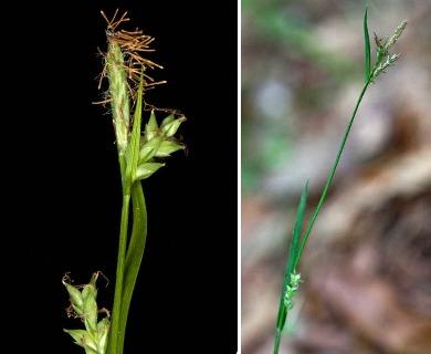 Carex chapmanii
