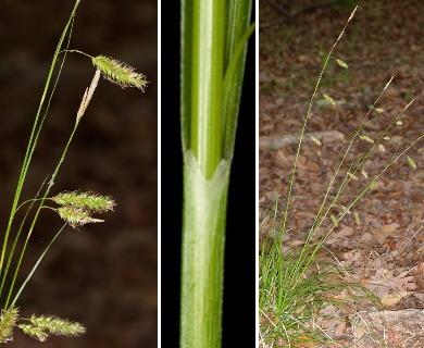 Carex cherokeensis