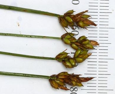Carex chordorrhiza
