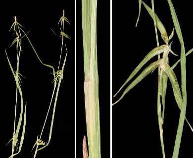 Carex collinsii