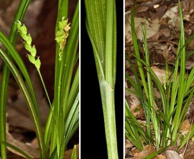 Carex cumberlandensis