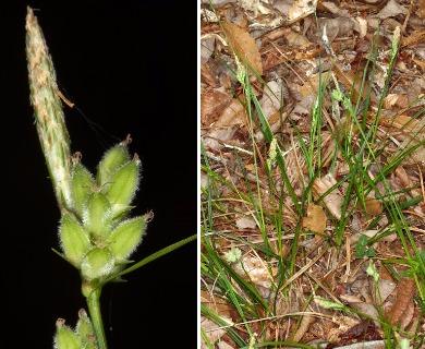 Carex dasycarpa