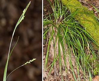 Carex digitalis