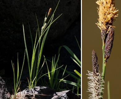 Carex emoryi