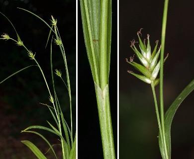 Carex folliculata
