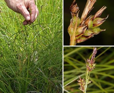 Carex globosa