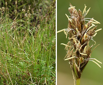 Carex harfordii