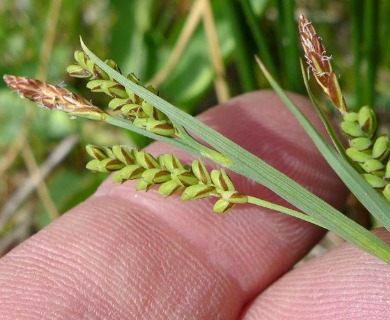 Carex hassei